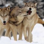 Why wolves make better team players?