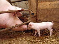 PigAndPigletInBarn.jpg.653x0_q80_crop-smart